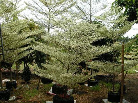 Jual Planter Bag Jakarta jual pohon ketapang mini ketapang kencana varigata
