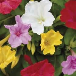 how to grow four o clock flowers urban farmer s guide