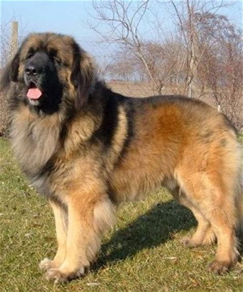 leonberger german mountain leonberger perhaps the to result from a marketing caign the leonberger