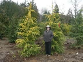 Small ornamental evergreen trees ornamental and landscape trees