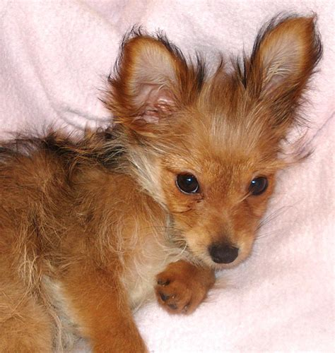 yorkie pomeranian chihuahua mix pomeranian chihuahua mix best images collections hd for gadget windows mac android