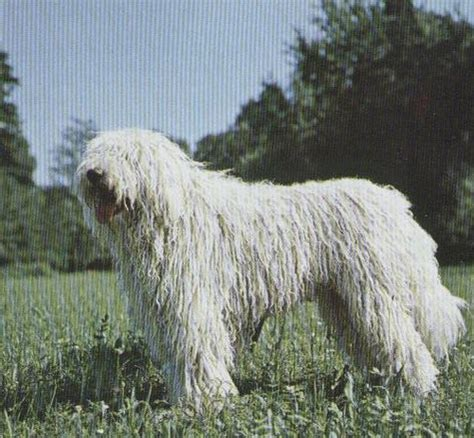 bergamasco puppies bergamasco flickr photo