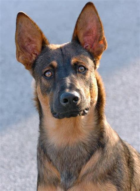 belgian malinois german shepherd mix belgian malinois lab mix quotes