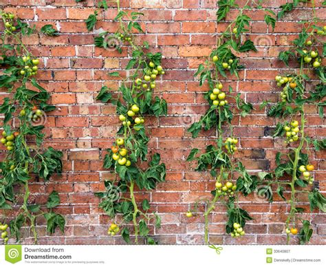 tomato vines growing royalty free stock photography image 33640807