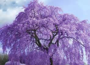 flowering tree purple pinterest
