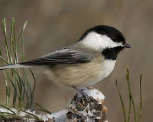 black capped chickadee parus atricapillus our wild world