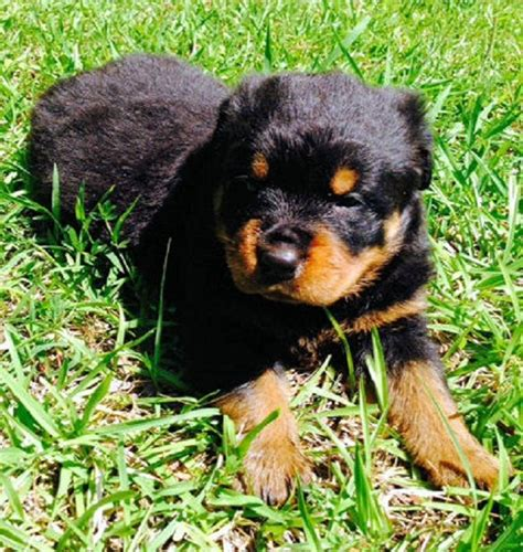 rottweiler puppies mississippi best 20 rottweiler for sale ideas on rottweiler puppies for sale