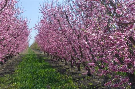 plum blossom tree new year top 10 facts about new year