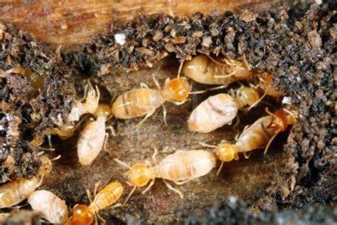 termites termite control termite effects ter