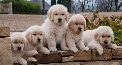 golden retriever breeders tx golden retriever breeder puppies available summer 2018 serving dallas