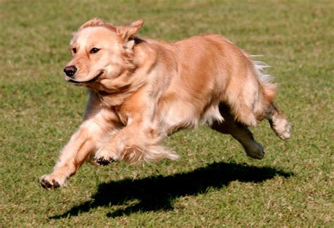 golden retriever behavior issues golden retriever appearance temperament behavior qualities exercise