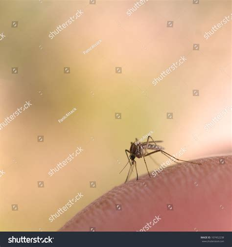 human skin macro stock image image of healthcare papillary 14341663 high magnification macro mosquito on human stock photo 107452238
