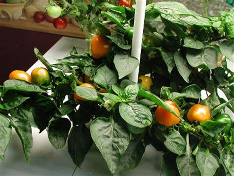 Mini Bell Tomato Seed photo gallery