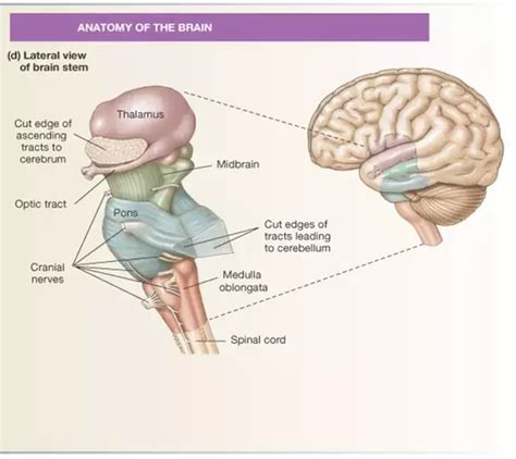 sections of the brain stem can you live without a brain stem quora