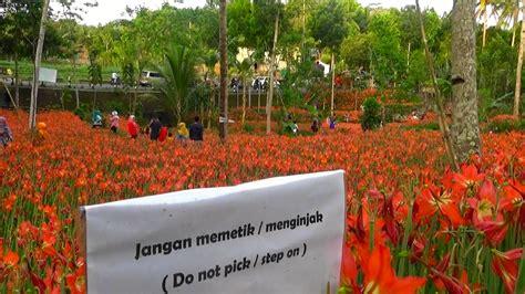 Bibit Bunga Amarilis kisah sukadi selamatkan amarilis awalnya musuh kini