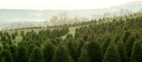 christmas trees in the news nh vt christmas tree association