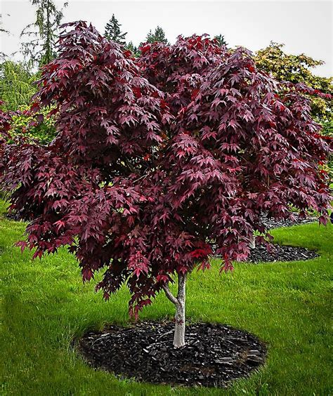 purple ghost japanese maple  tree center