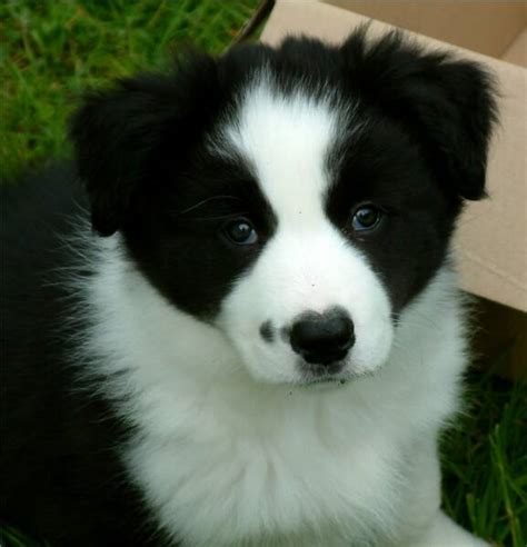 pictures of border collie puppies black and white border collie puppies border collie puppy photos border collie