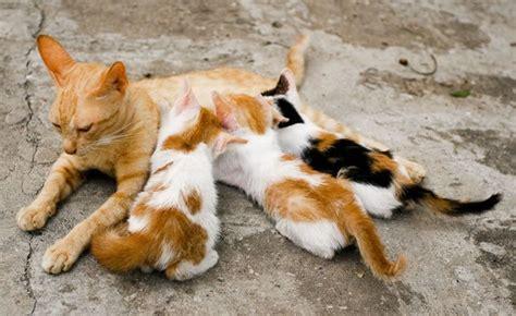 allattamento alimentazione mamma mamma gatta e un allattamento movimentato