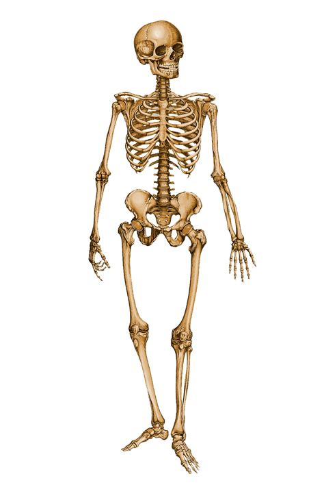 a skeleton human skeleton 12029879 by stockproject1 on deviantart