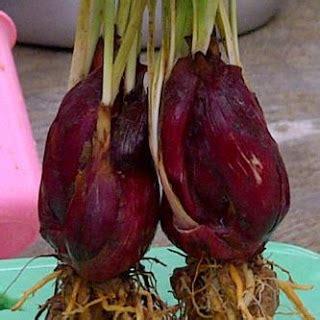 mari berwirausaha bawang dayak eleutherine palmifolia