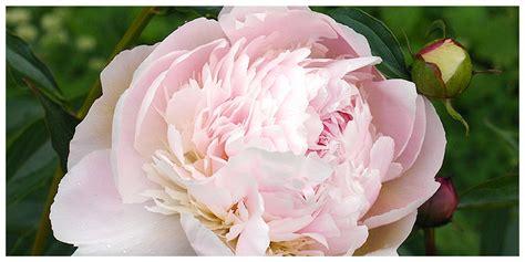 fiore di peonia la peonia di tutti i fiori