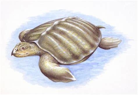 sea turtle ls the 7 species of sea turtles