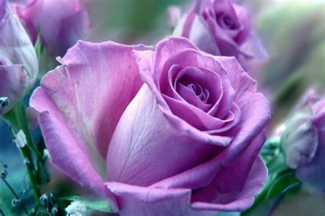 imagenes de rosas lilas rosas lilas imagen imagui