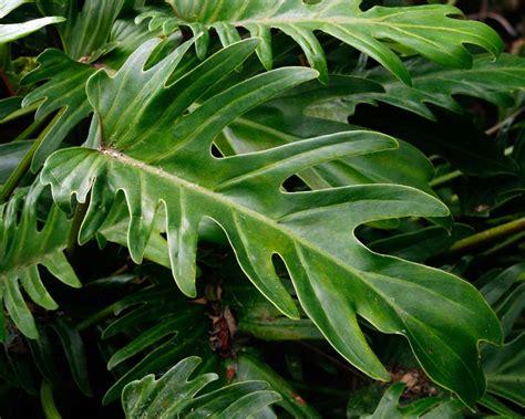 gardensonline philodendron  xanadu