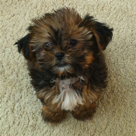 what is a shorkie puppy a shorkie puppy i want one my style