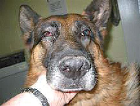 mmm in dogs managing lockjaw disorders in dogs vet times
