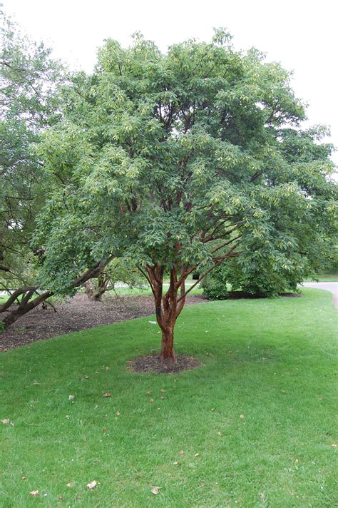 paper bark maple acer griseum zone 5 small to medium tree 4 trees