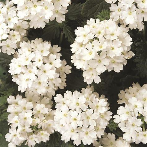 verbena aztec white 125mm pot dawsons garden world - Verbena Shrub With White Flowers