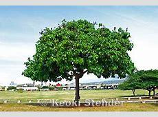 Portia, Milo, Thespesia populnea Milo Tree