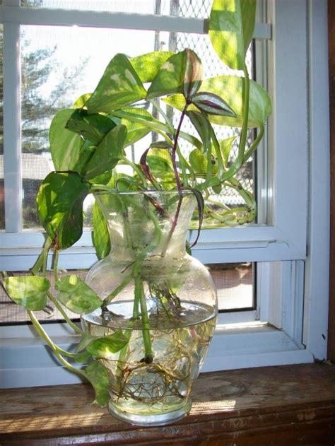 grow pothos devils ivy  water dengarden