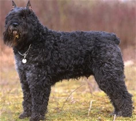 bouvier dogs your bouvier des flandres the sensible way