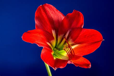 il fiore rosso sfondo quot fiore rosso giallo sfondo quot 1920 x 1280