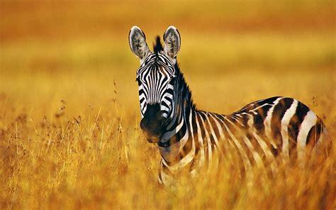 google wallpaper zebra zebra full hd wallpaper and background image 1920x1200