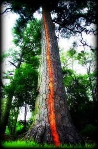 lighting tree lightning trees exploding ian lunt ecology