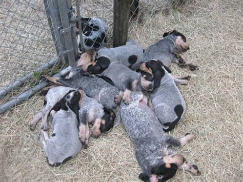 bluetick puppy blueticks backwoods bluetick kennels of florida orlando fl to alabama