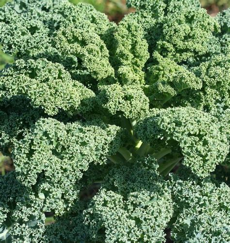Seed Kale Curly 1 vates blue curled scotch kale seeds