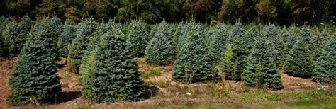 christmas tree farms near indianapolis tree farms muncie in