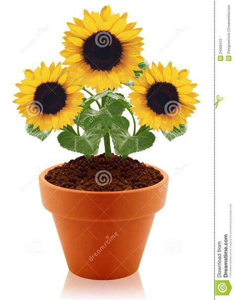 girasole in vaso girasole in vaso di argilla fotografia stock immagine
