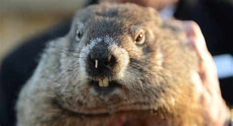 groundhog day karaoke usa une marmotte traduite en justice pour imposture