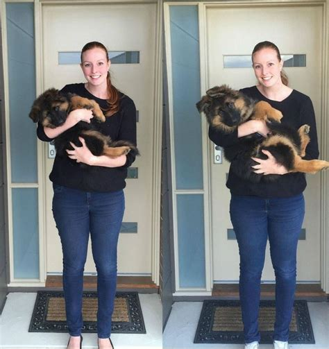 puppy growth spurts german shepherd puppy s 6 month growth spurt captured in adorable pictures metro news
