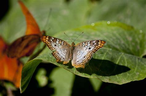 Butterfly Garden Az by Desert Botanical Gardens Scottsdale Az 2012 Butterfly