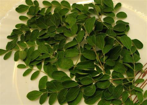 Arbol De Marango The Moringa Tree Moringa Oleifera Zoom S Edible Plants