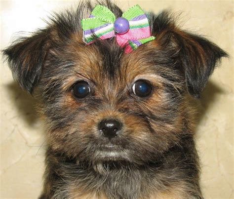 yorkie rescue southern california teacup morkie puppies for sale in southern california breeds picture