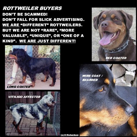 different colored rottweilers difference between doberman and rottweiler breeds picture