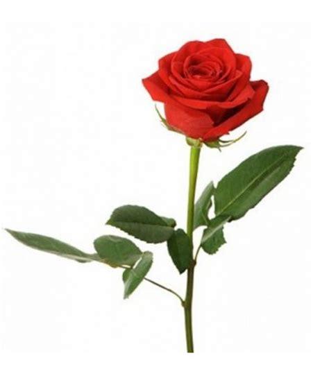 Jual Bibit Bunga Mawar Merah harga jual bibit bunga mawar tanpa duri samudrabibit